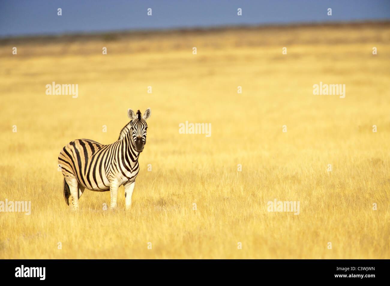 zebra desert savanna savannah burchell burchelli equus namibia damaraland 1 one single space for text layout golden - Stock Image