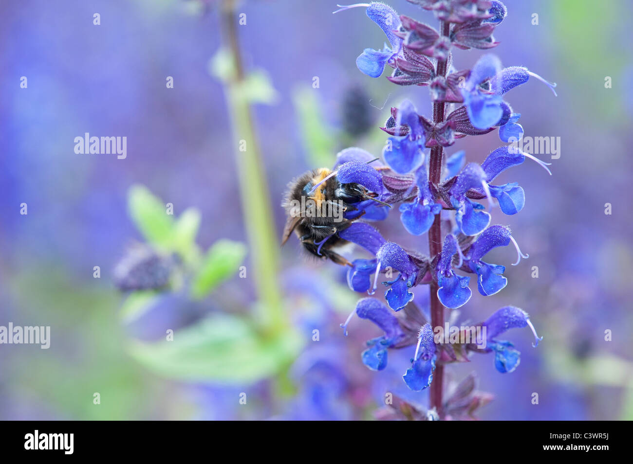 Bombus Lucorum. Bumble bee on a Salvia flower in an english garden - Stock Image