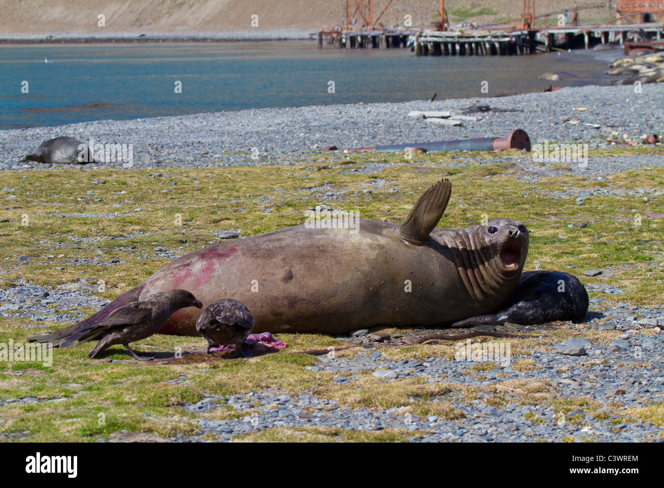 Female elephant seal roars to protect her new born pup from skuas, Stromness, South Georgia Island - Stock Image