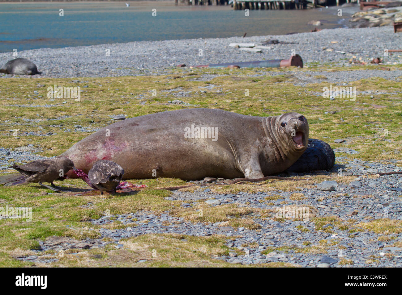 Female elephant seal roars to protect her new born pup, Stromness, South Georgia Island - Stock Image