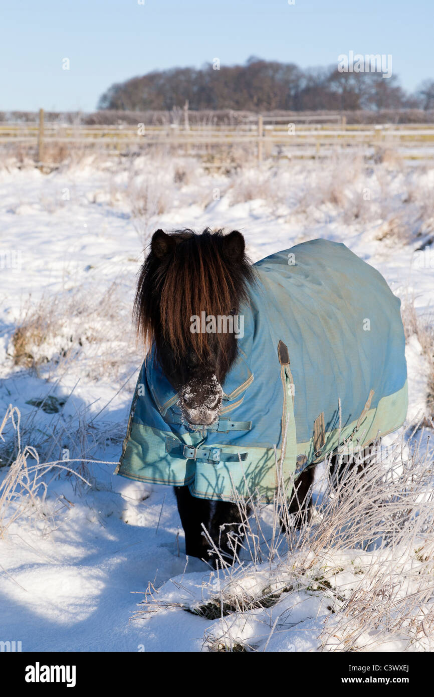 A black pony wearing a blue rug in the snow - Stock Image