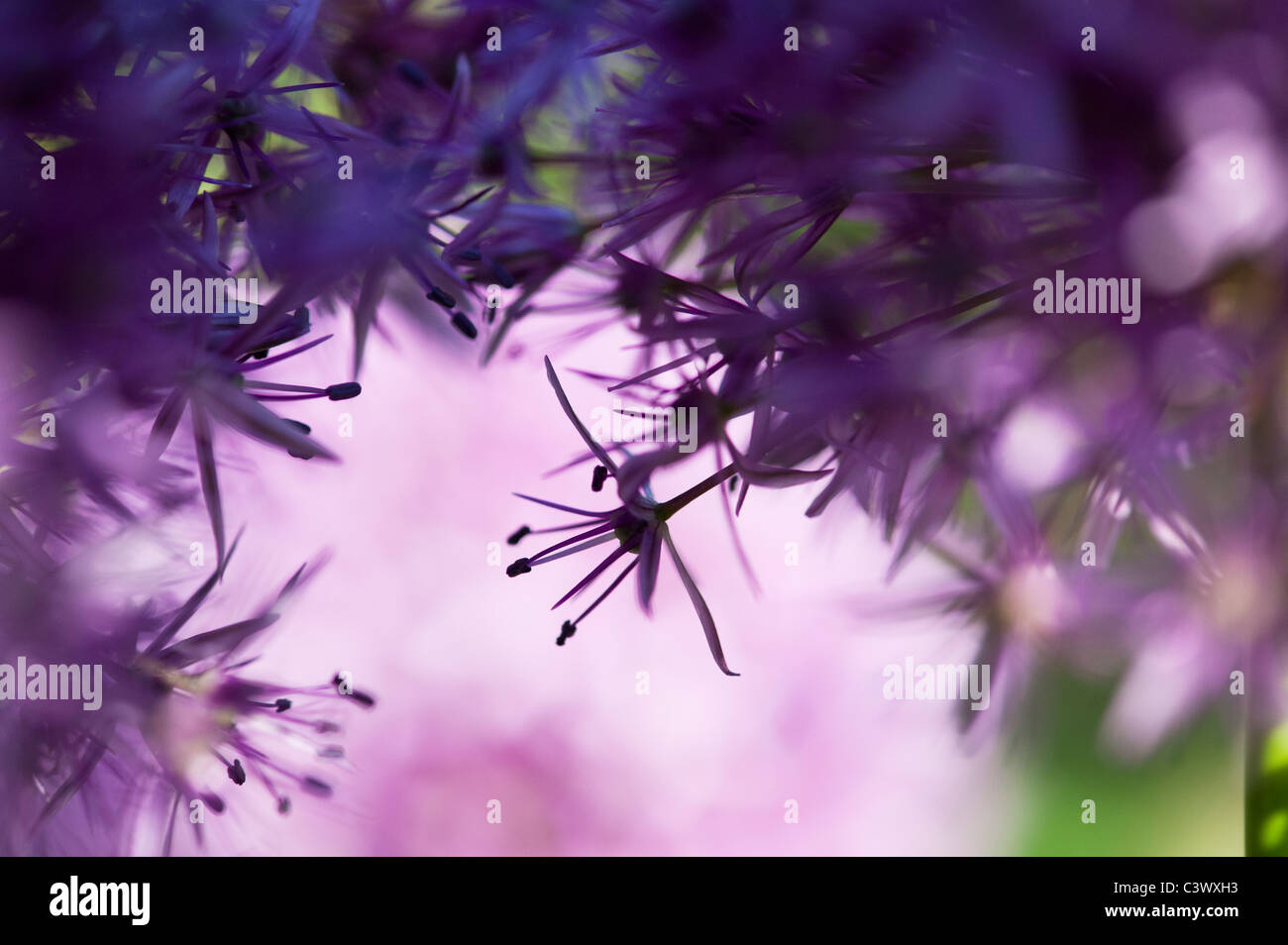 Allium purple sensation flower abstract - Stock Image