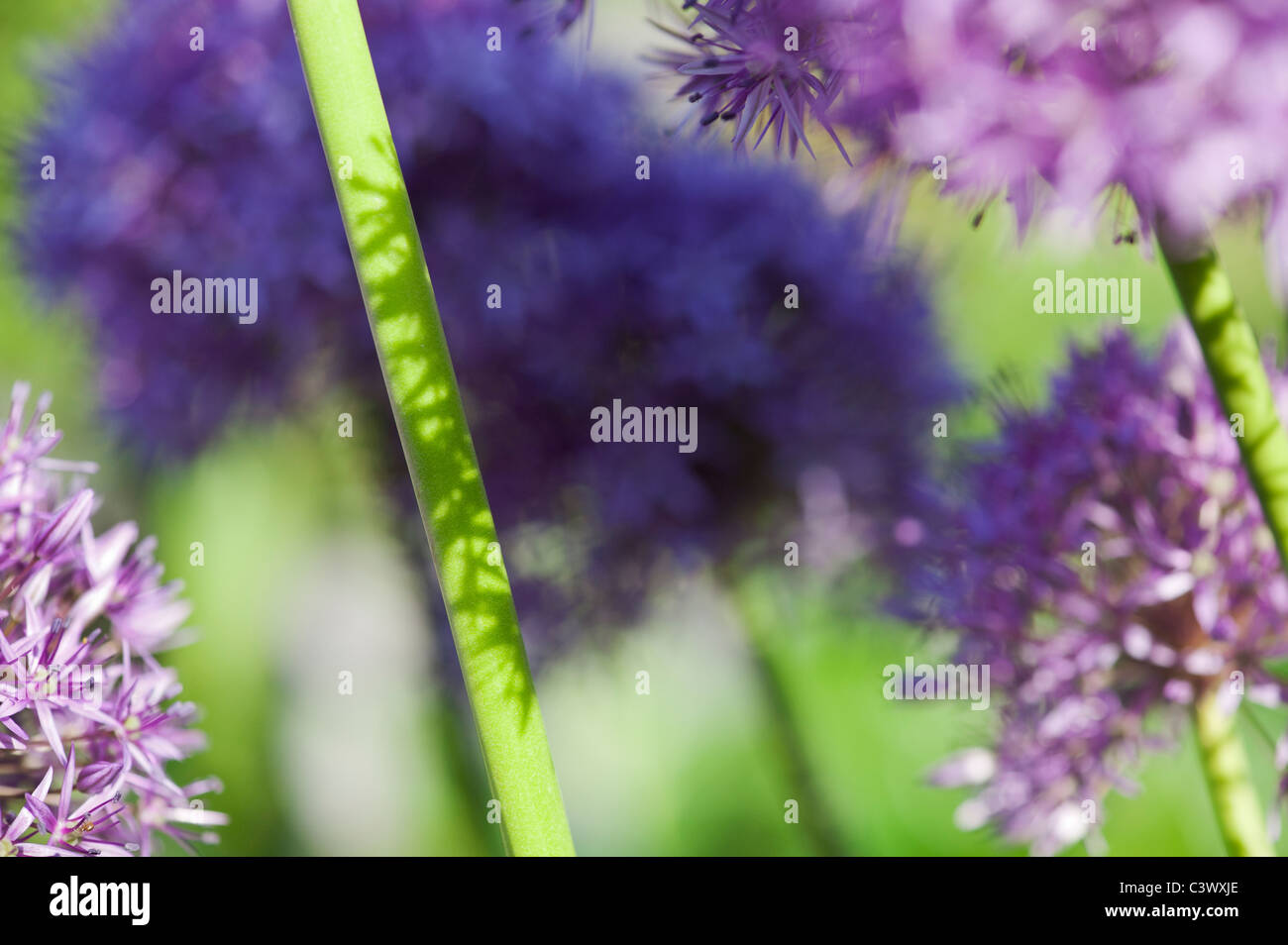 Allium 'Globemaster'. flowers stems sunlight and shadows abstract Stock Photo