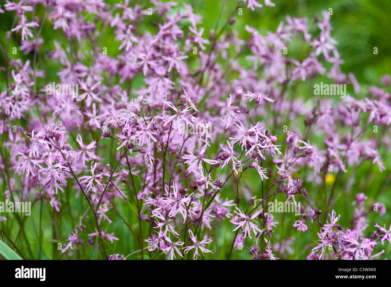 Wild pink campion flowers meadow campion ragged robin stock photo wild pink campion flowers meadow campion ragged robin mightylinksfo
