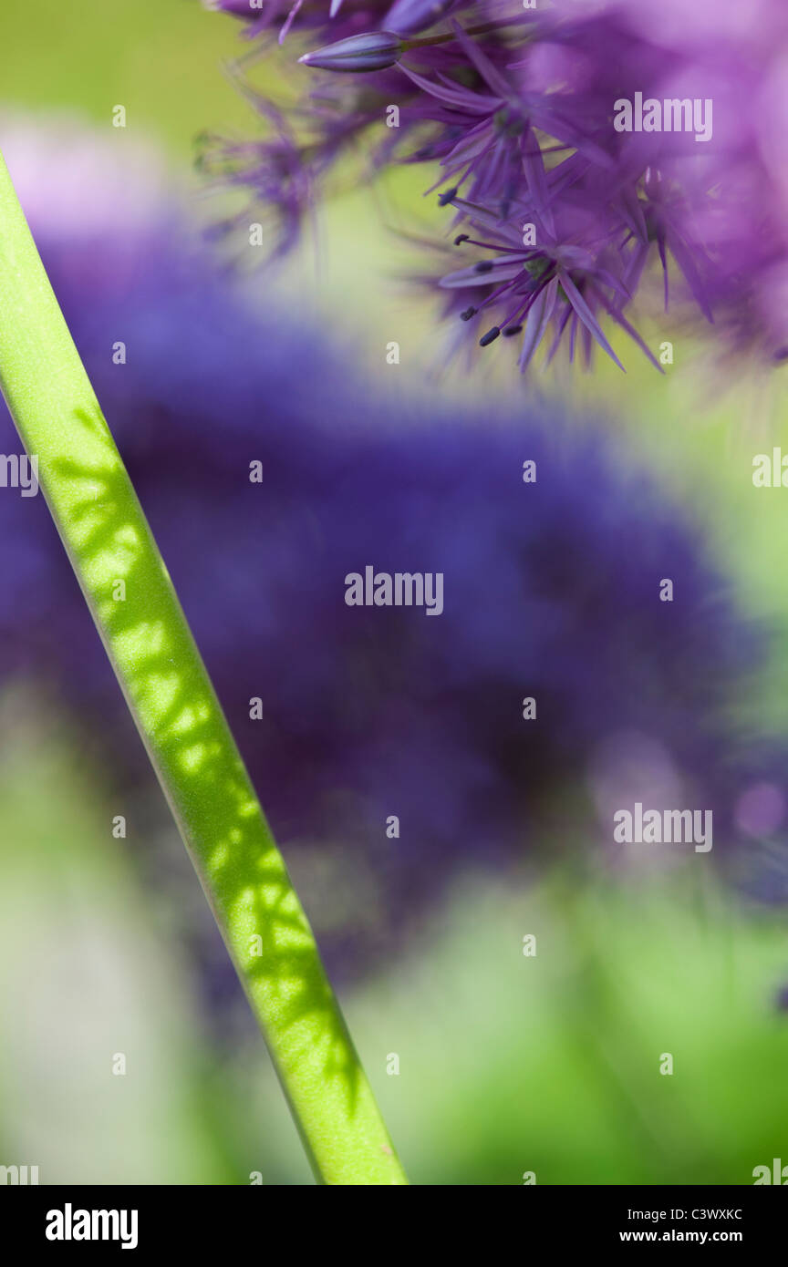 Allium 'Globemaster'. flowers stems sunlight and shadows abstract - Stock Image