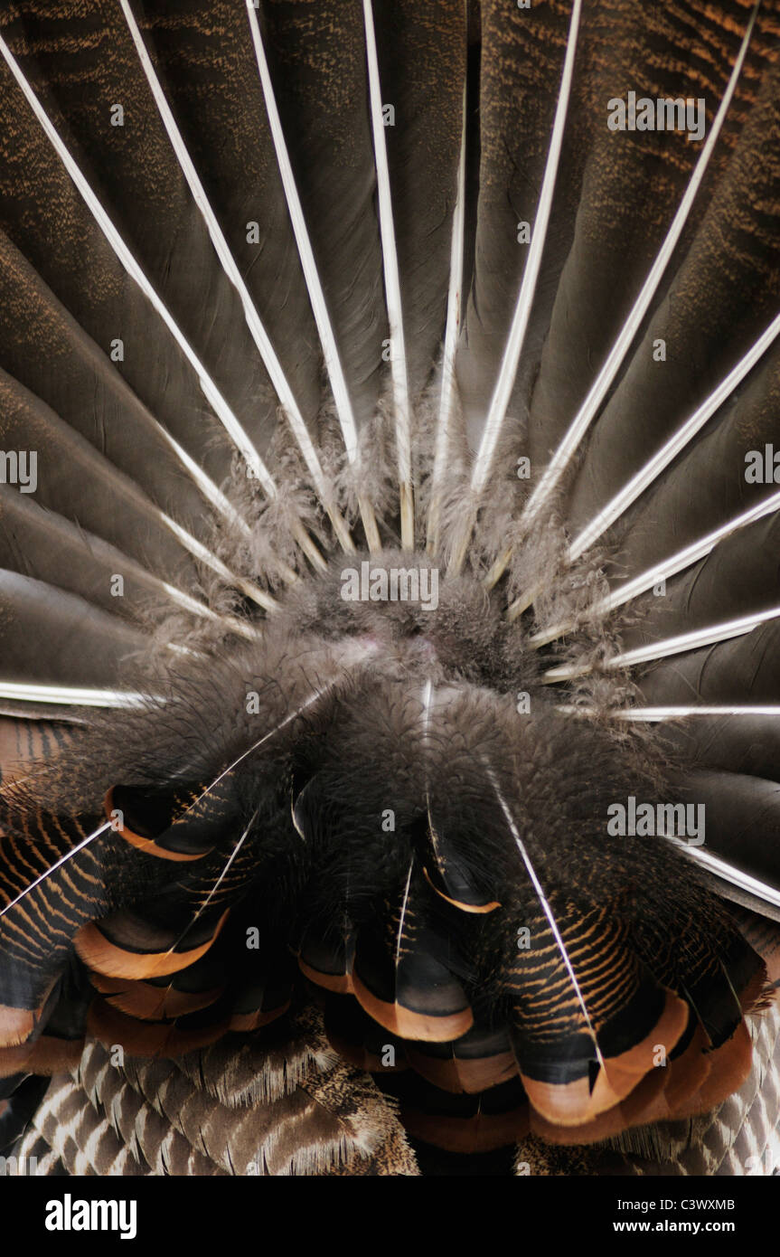 Wild Turkey (Meleagris gallopavo), tail feathers male displaying, New Braunfels, San Antonio, Hill Country, Central - Stock Image