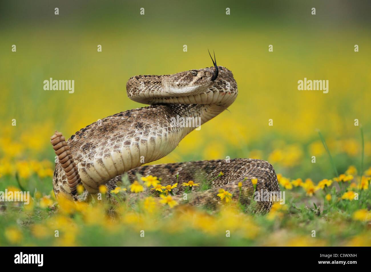 Western Diamondback Rattlesnake (Crotalus atrox), adult in striking pose in wildflower field, Laredo, Webb County, - Stock Image
