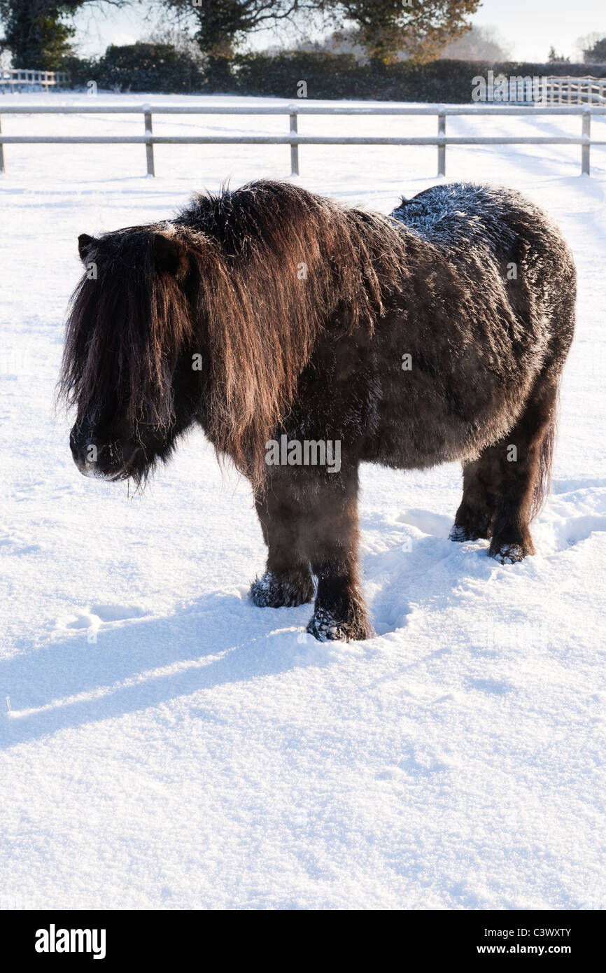A hardy native pony standing in winter snow UK - Stock Image