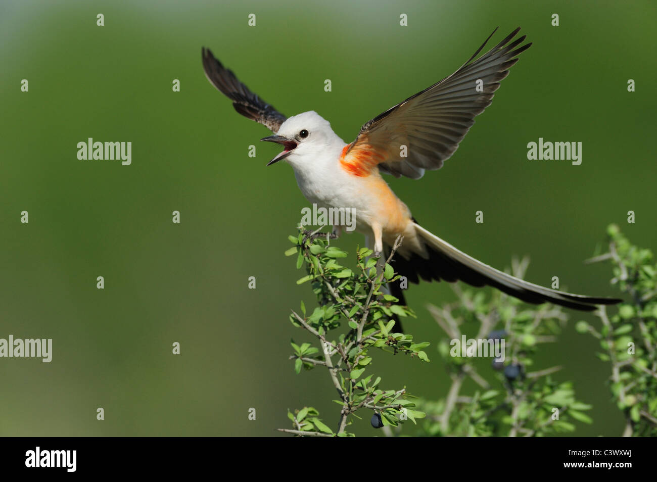 Scissor-tailed Flycatcher (Tyrannus forficatus), adult female singing on perch, Laredo, Webb County, South Texas, - Stock Image