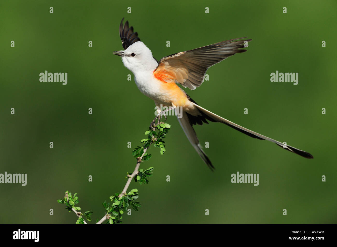 Scissor-tailed Flycatcher (Tyrannus forficatus), adult male singing on perch, Laredo, Webb County, South Texas, - Stock Image
