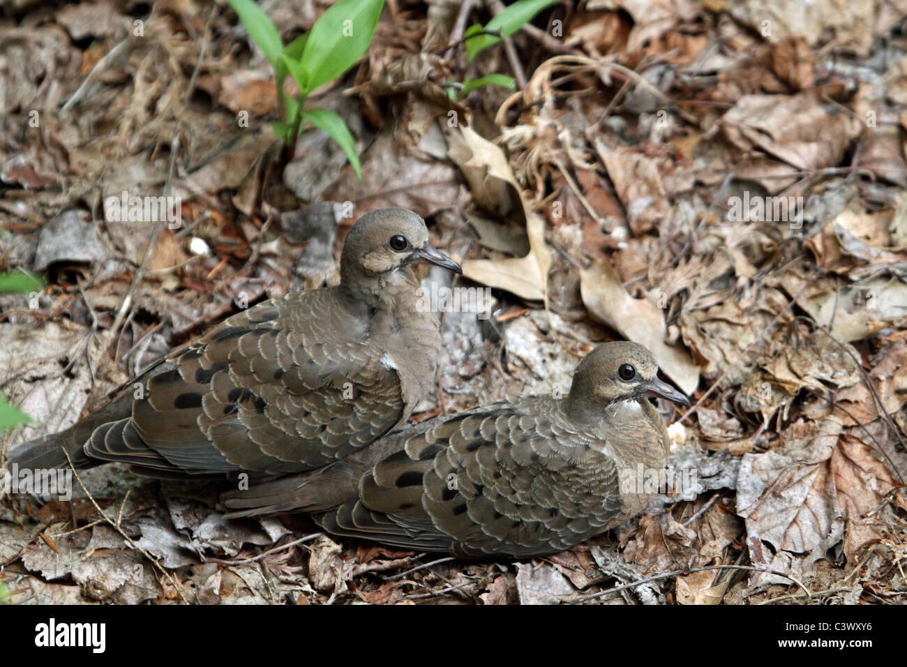 Mourning Dove fledglings, Zenaida macroura, huddling - Stock Image