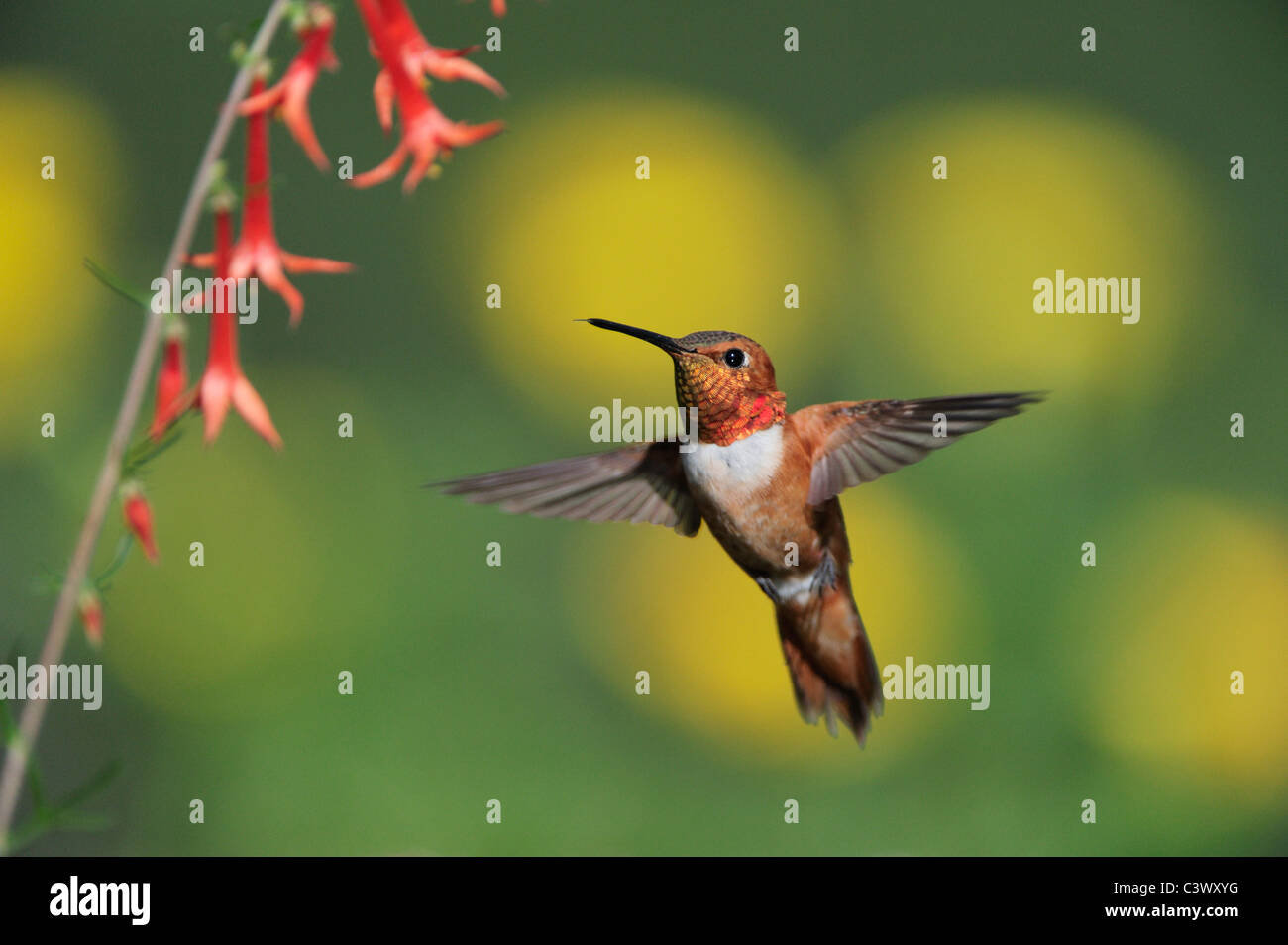 Rufous Hummingbird (Selasphorus rufus), male in flight feeding on Scarlet Gilia (Ipomopsis aggregata), New Mexico - Stock Image