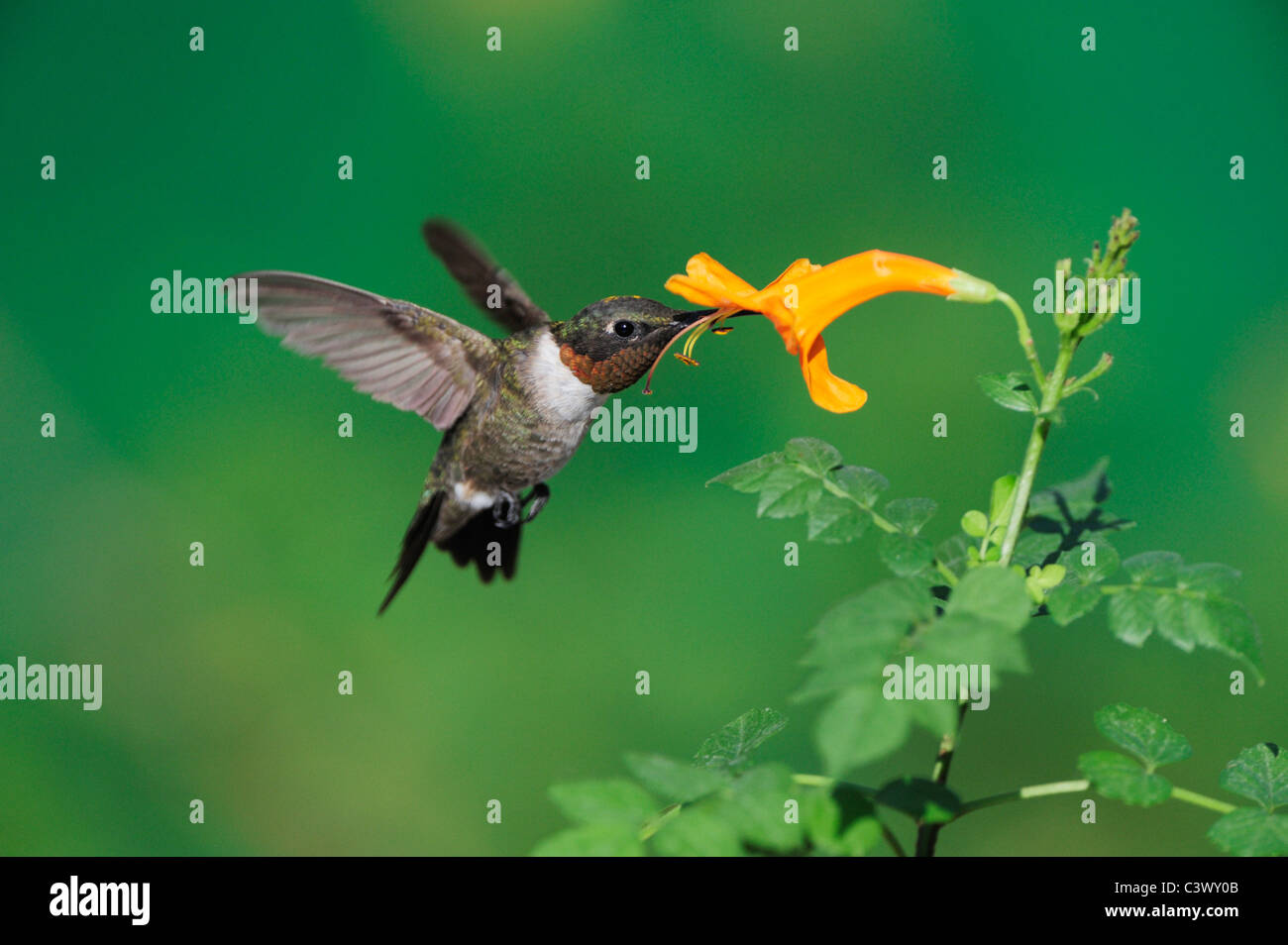 Ruby-throated Hummingbird (Archilochus colubris), male in flight feeding on Honeysuckle flower, Hill Country, Central - Stock Image