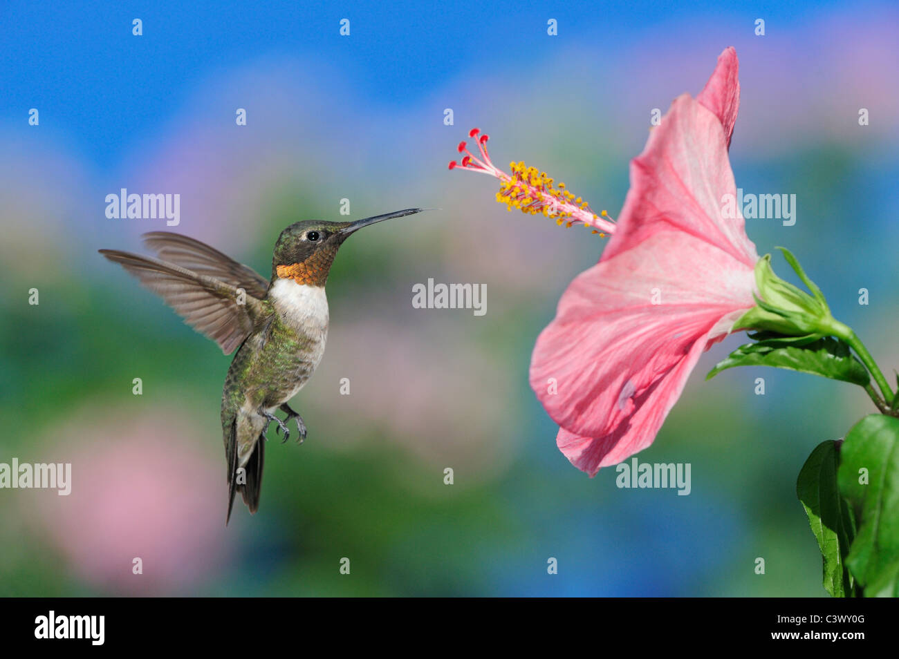 Ruby-throated Hummingbird (Archilochus colubris), male in flight feeding on Hibiscus flower, Hill Country, Central - Stock Image