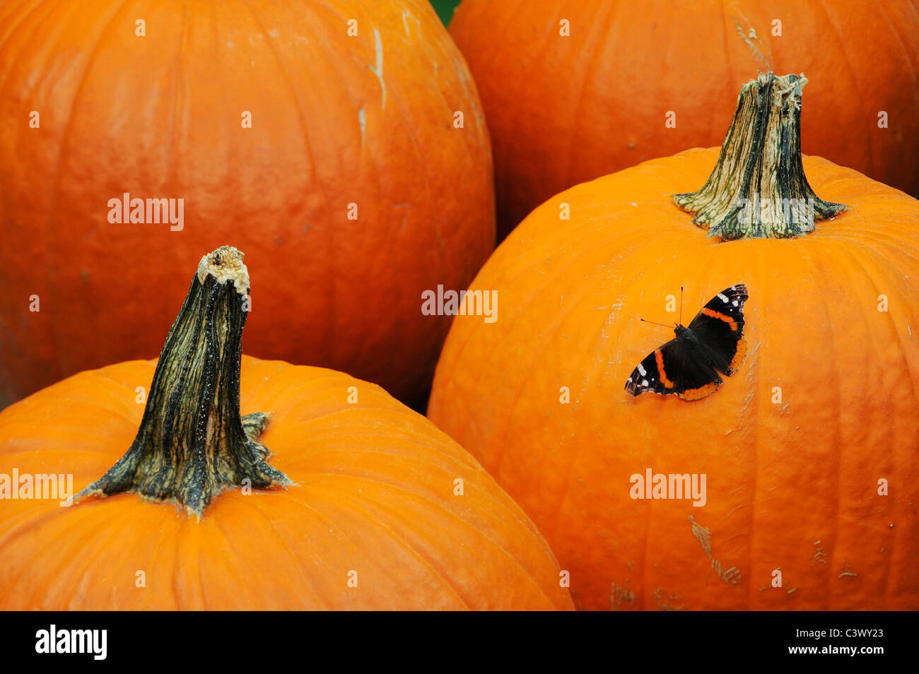 Red Admiral (Vanessa atalanta), adult on Pumpkin, Comal County, Hill Country, Central Texas, USA - Stock Image
