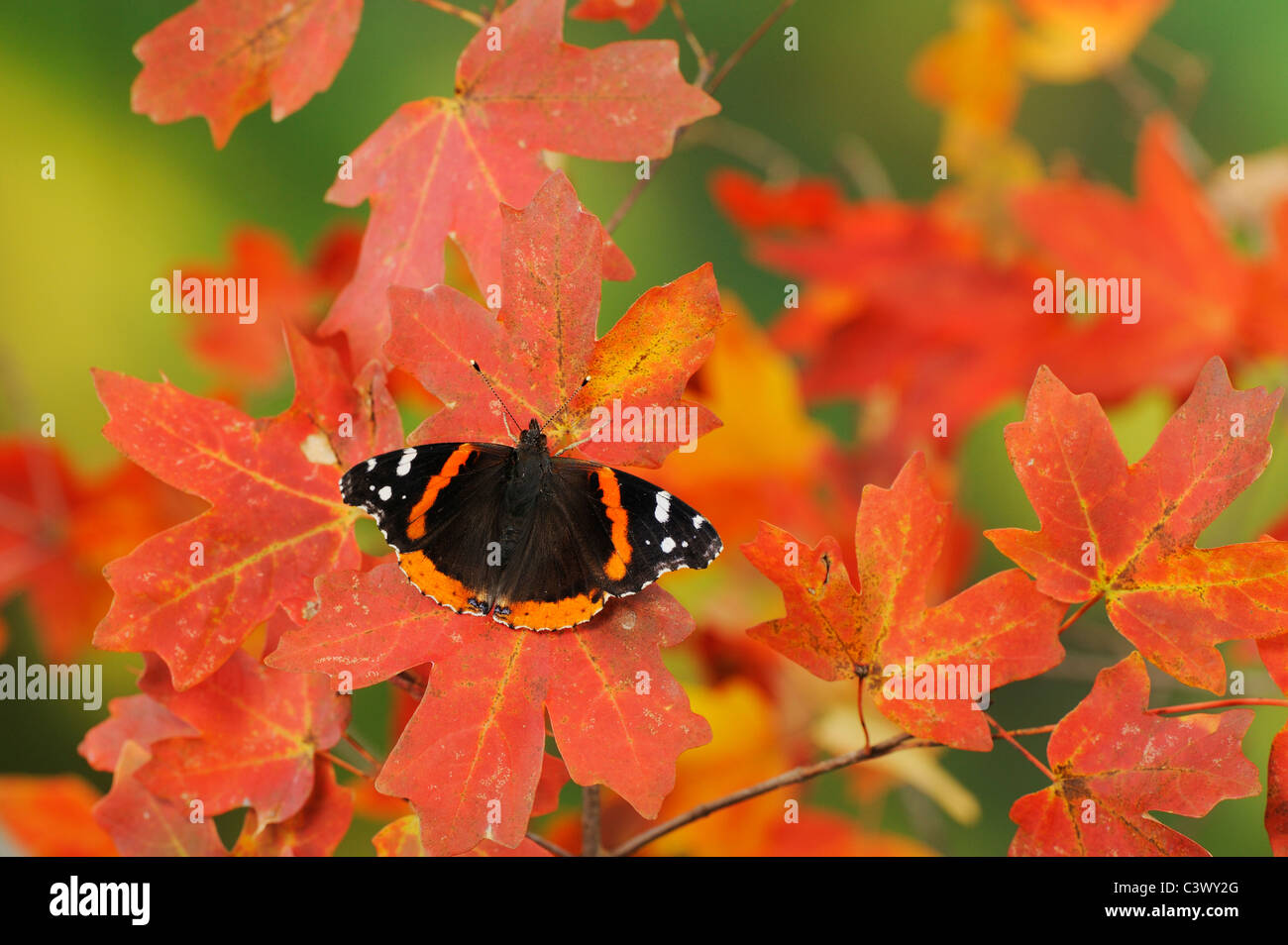 Red Admiral (Vanessa atalanta), perched on Bigtooth Maple (Acer grandidentatum), Lost Maples State Park, Hill Country, - Stock Image