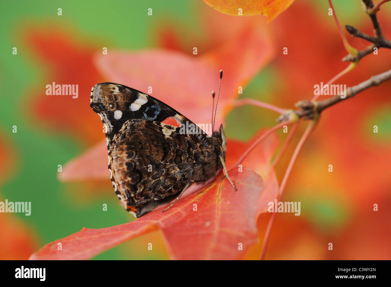 Red Admiral (Vanessa atalanta), perched on Bigtooth Maple (Acer grandidentatum), Lost Maples State Park, Hill Country, Stock Photo