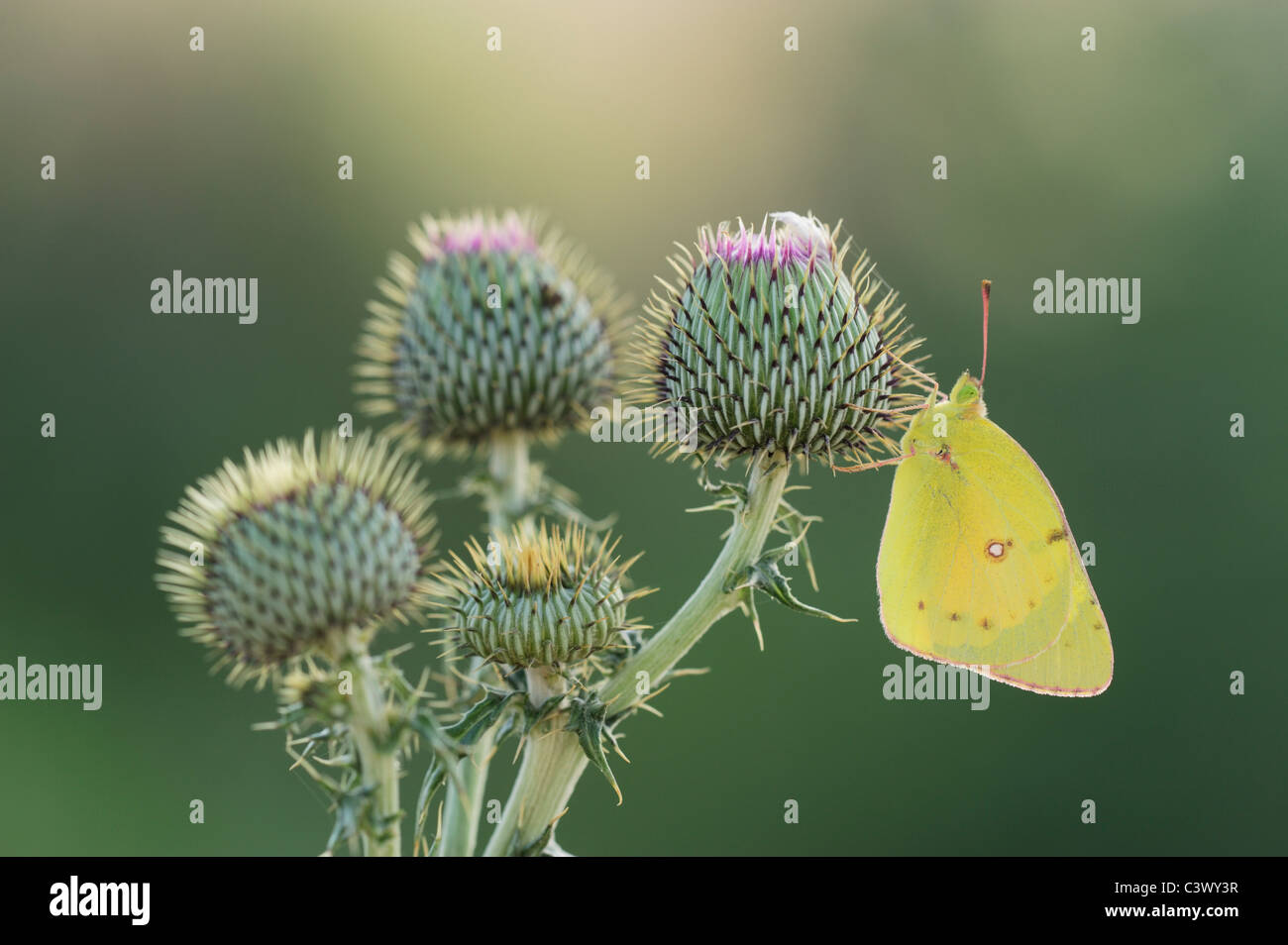 Orange Sulphur (Colias eurytheme), adult on Texas thistle (Cirsium texanum), Laredo, Webb County, South Texas, USA - Stock Image