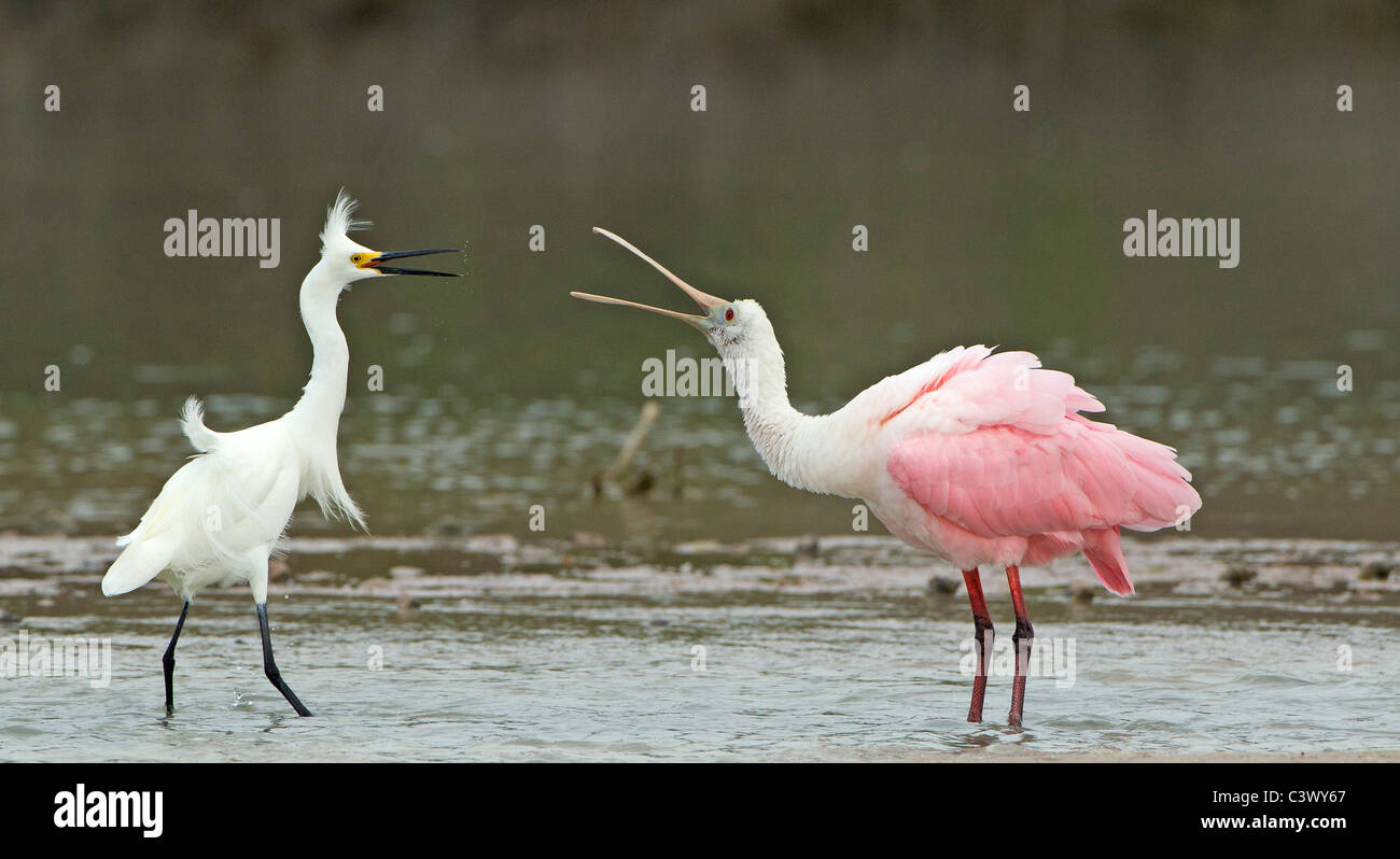 A territorial dispute between a Roseate Spoonbill and a Snowy Egret. - Stock Image