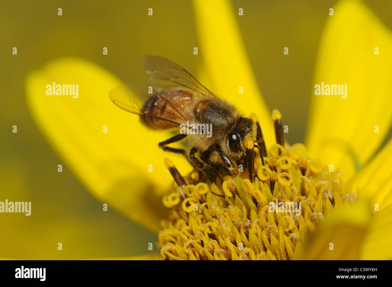 Honey Bee (Apis mellifera), adult feeding on Maximilians Sunflower (Helianthus maximilianii), Comal County, Hill - Stock Image