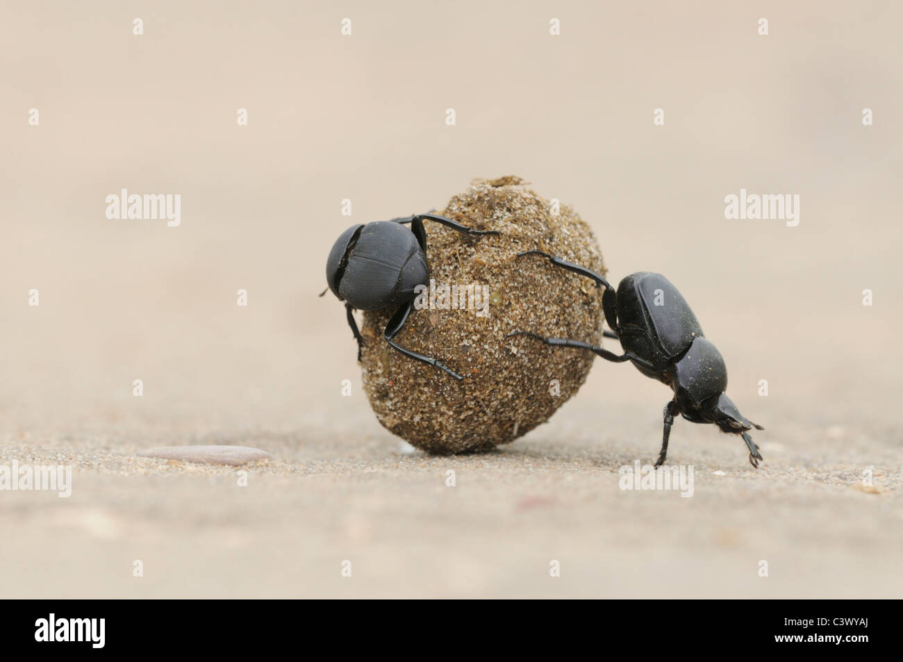 Dung Beetle (Scarabaeinae), adults rolling dung ball, Laredo, Webb County, South Texas, USAStock Photo