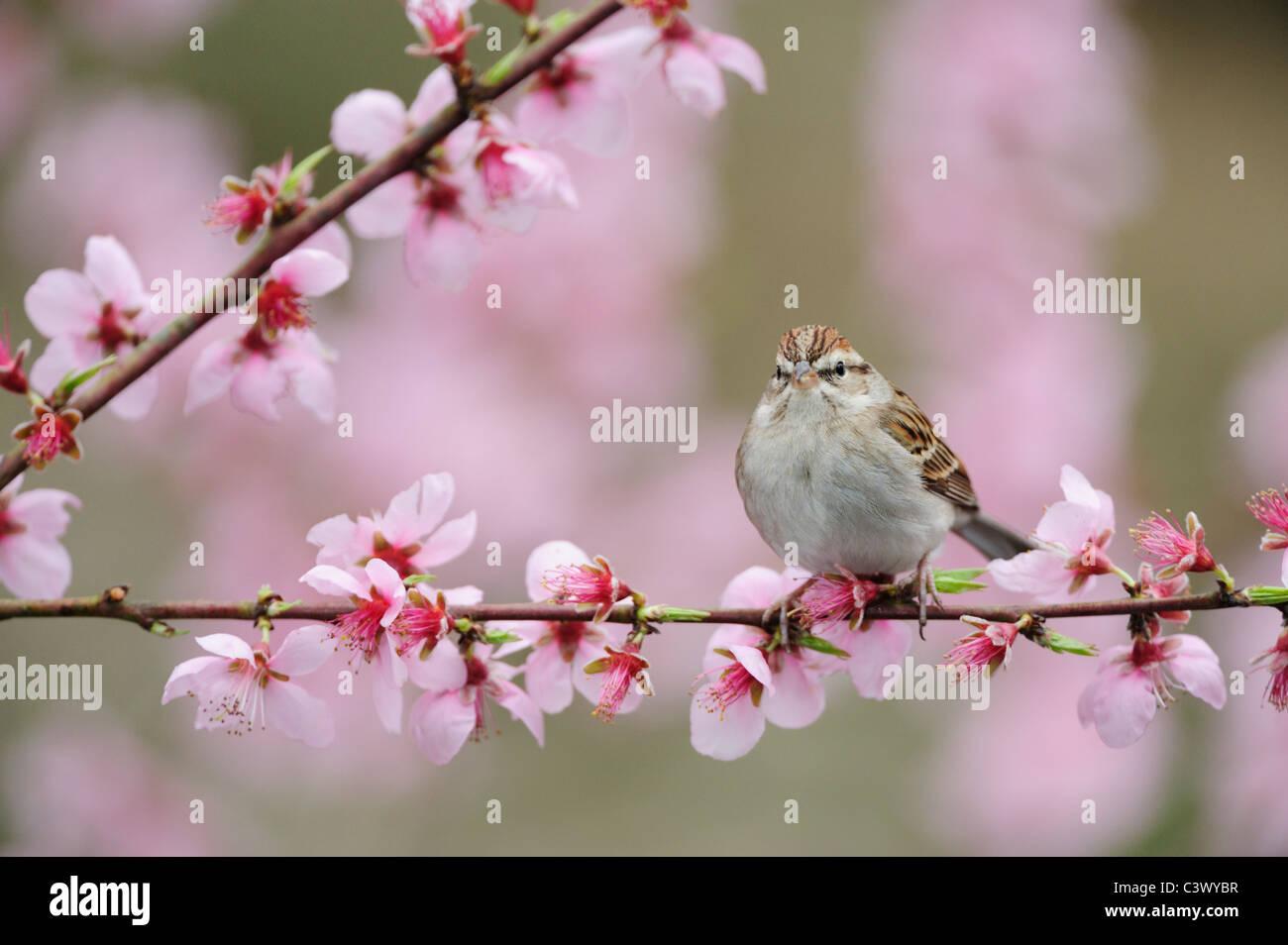 Chipping Sparrow (Spizella passerina), adult on blooming peach tree (Prunus persica), New Braunfels, San Antonio, - Stock Image