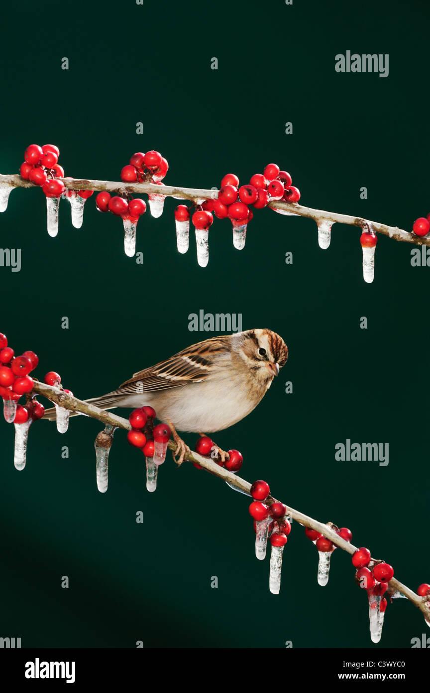 Chipping Sparrow (Spizella passerina), adult on ice covered Possum Haw Holly (Ilex decidua) berries, New Braunfels, - Stock Image