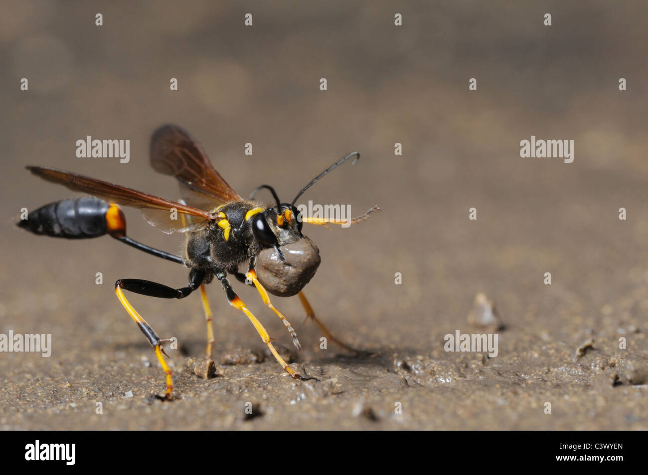 Black and yellow Mud Dauber (Sceliphron caementarium), female collecting mud for nest, Comal County, Hill Country, - Stock Image