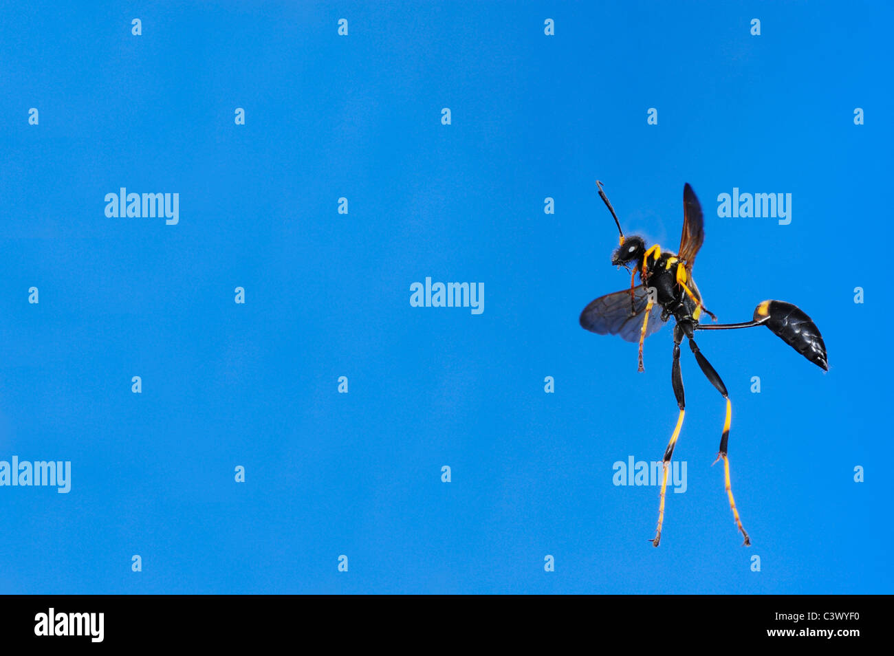 Black and yellow Mud Dauber (Sceliphron caementarium), female in flight, Comal County, Hill Country, Central Texas, - Stock Image