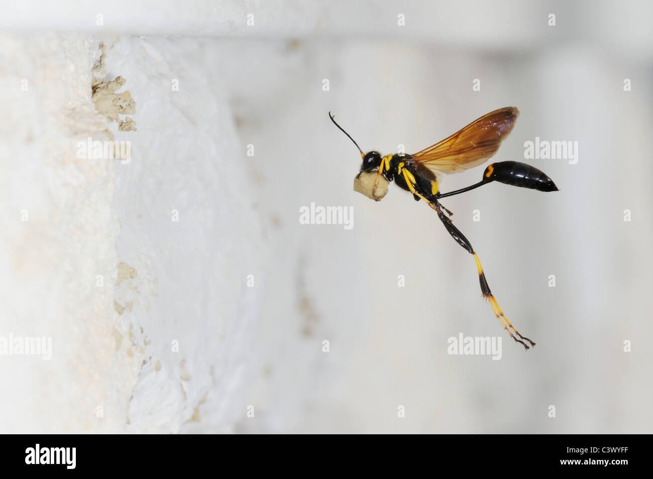 Black and yellow Mud Dauber (Sceliphron caementarium), female in flight bringing mud to nest inside wall, Comal - Stock Image