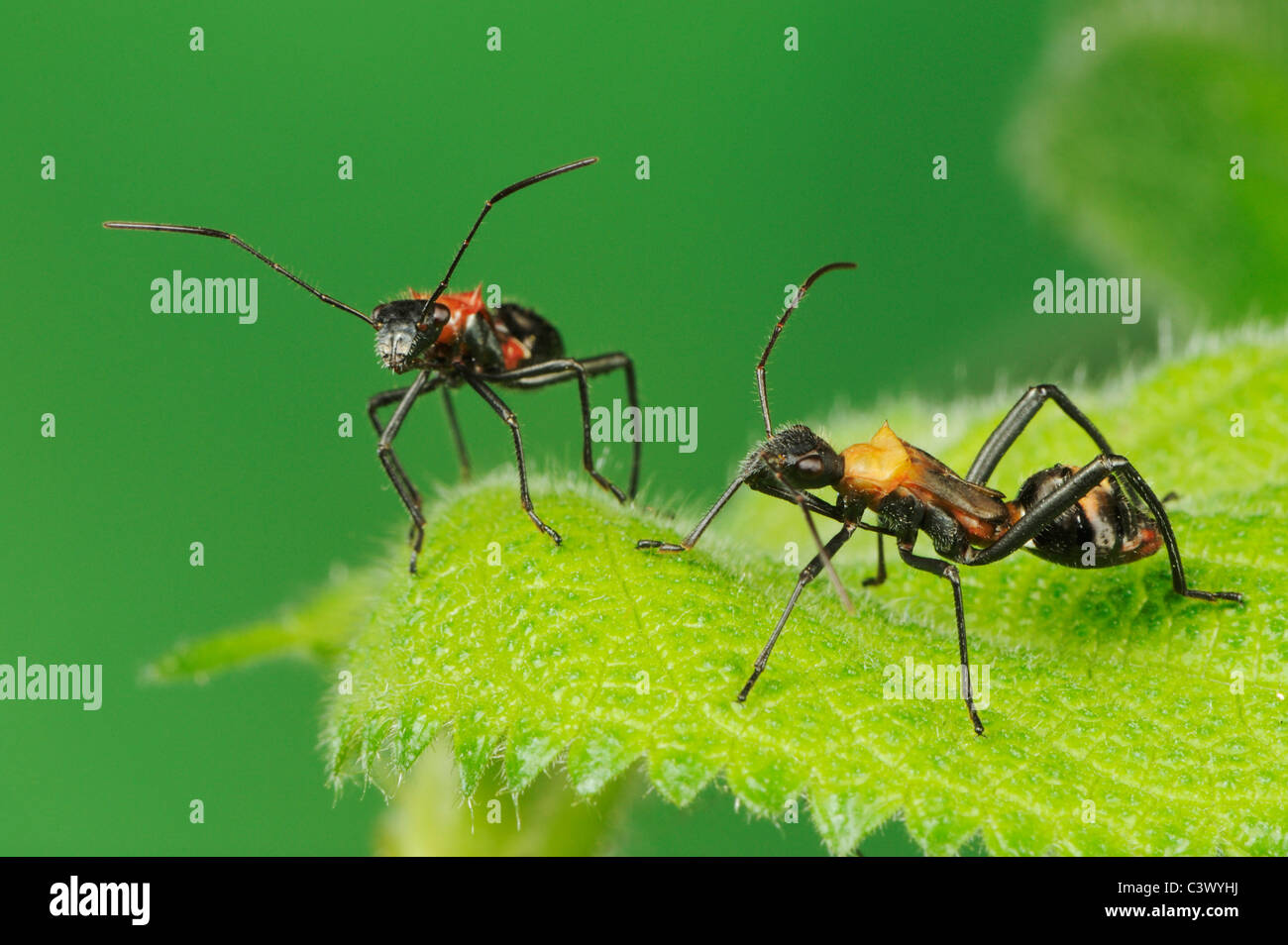 Broad-headed Bug (Hyalymenus tarsatus), Nymphs on leaf, ant mimicry, Comal County, Hill Country, Central Texas, - Stock Image
