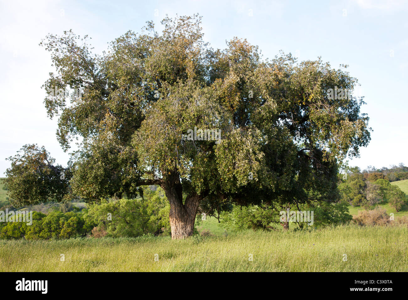 Cork Oak tree, springtime - Stock Image
