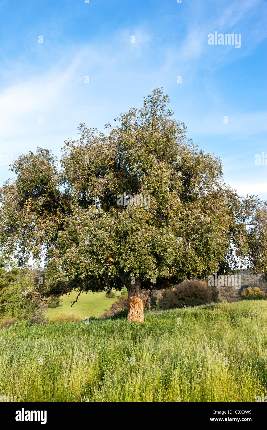Cork Oak tree, springtime - Stock Image