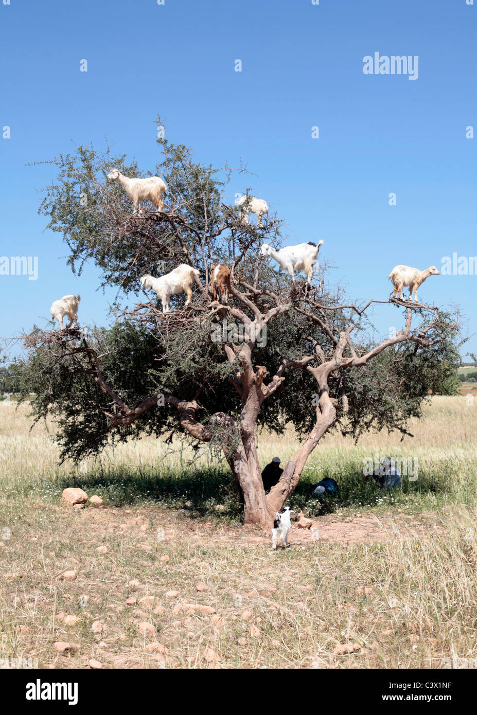 Goats feeding in an Argan tree, Morocco. - Stock Image