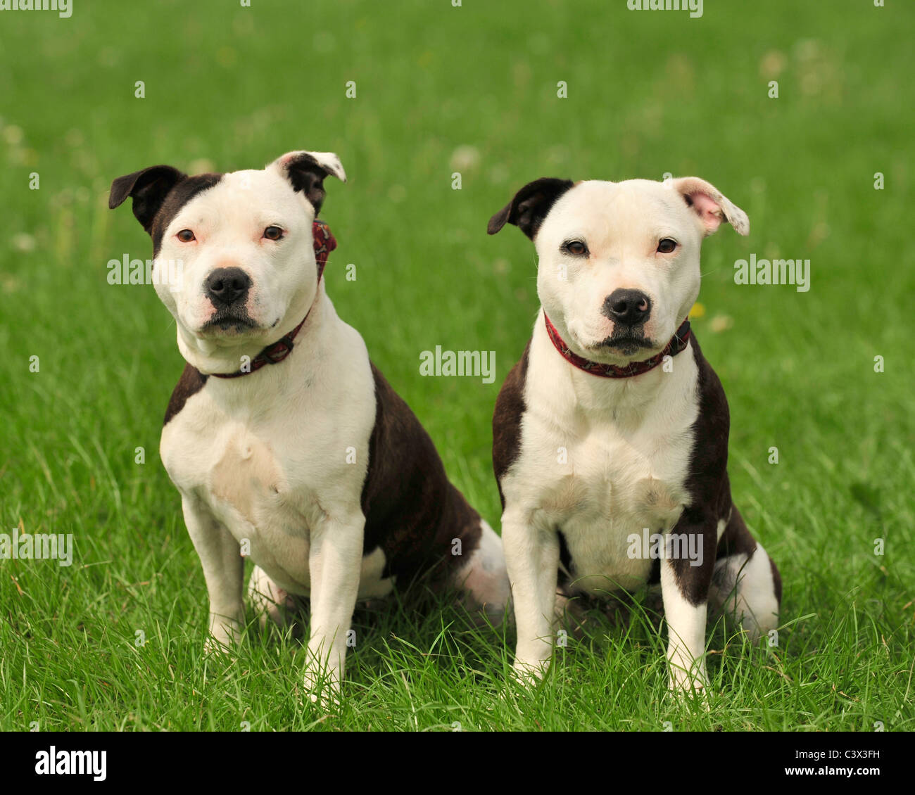 two staffordshire bull terriers - Stock Image