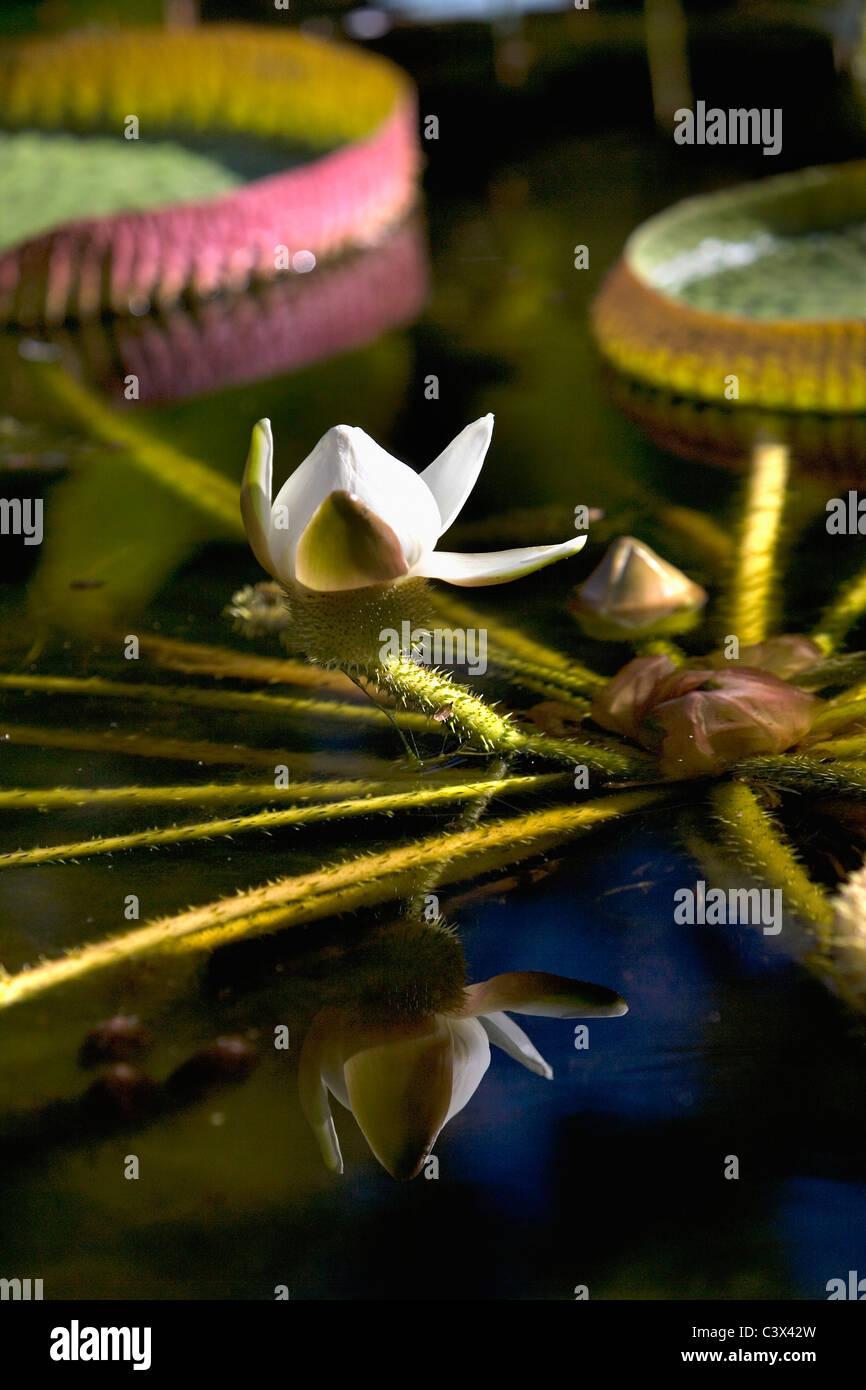 Brazil, Silvania, Goias, Big waterplant called: Victoria Regia. - Stock Image