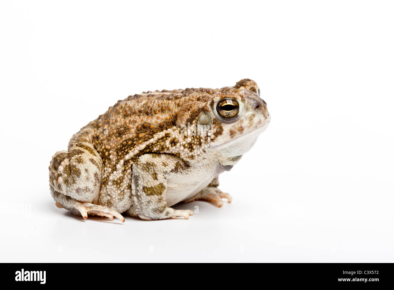 Great Plains toad, Anaxyrus cognatus, formerly Bufo cognatus, North America on white background - Stock Image