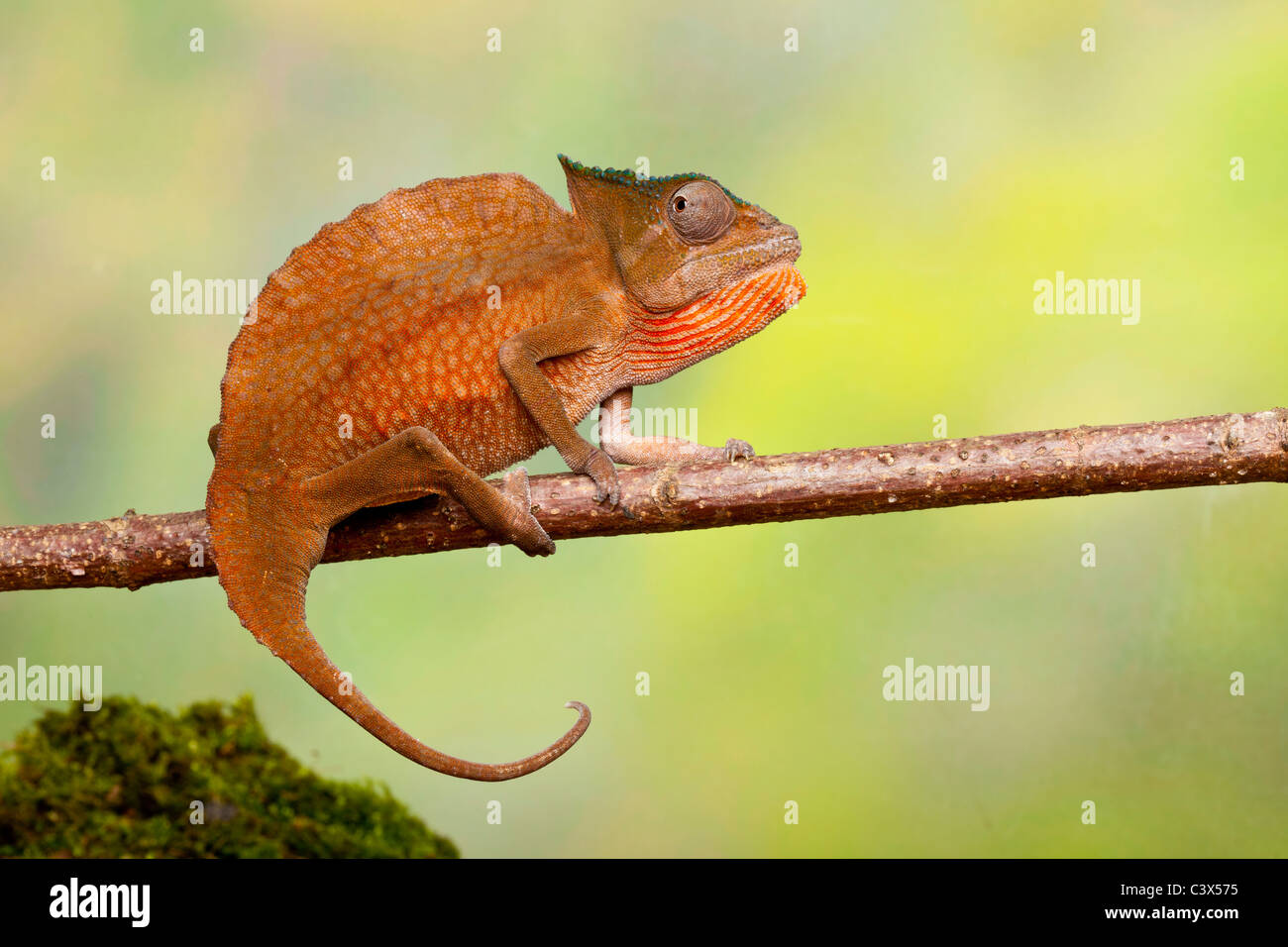 Crested chameleon, Trioceros cristatus,  formerly Chamaeleo cristatus, male, West Africa - Stock Image