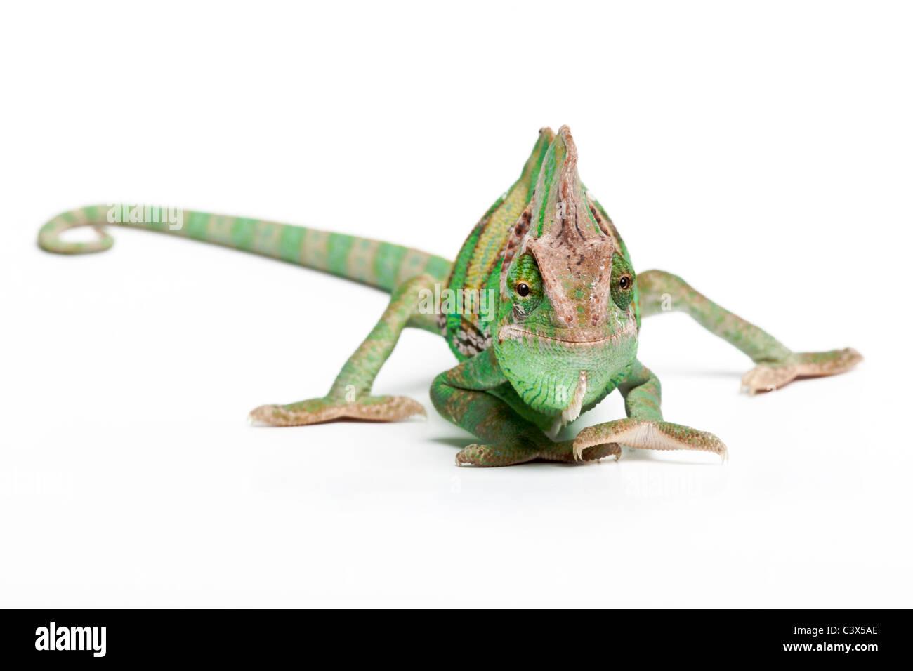 Veiled chameleon, Yemen chameleon, Chamaeleo calyptratus, male, Arabian Peninsula - Stock Image