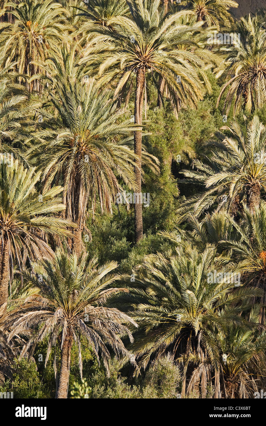 Date Palms (Phoenix dactylifera) in the so-called Paradise Valley in the western foothills of the High Atlas mountain - Stock Image