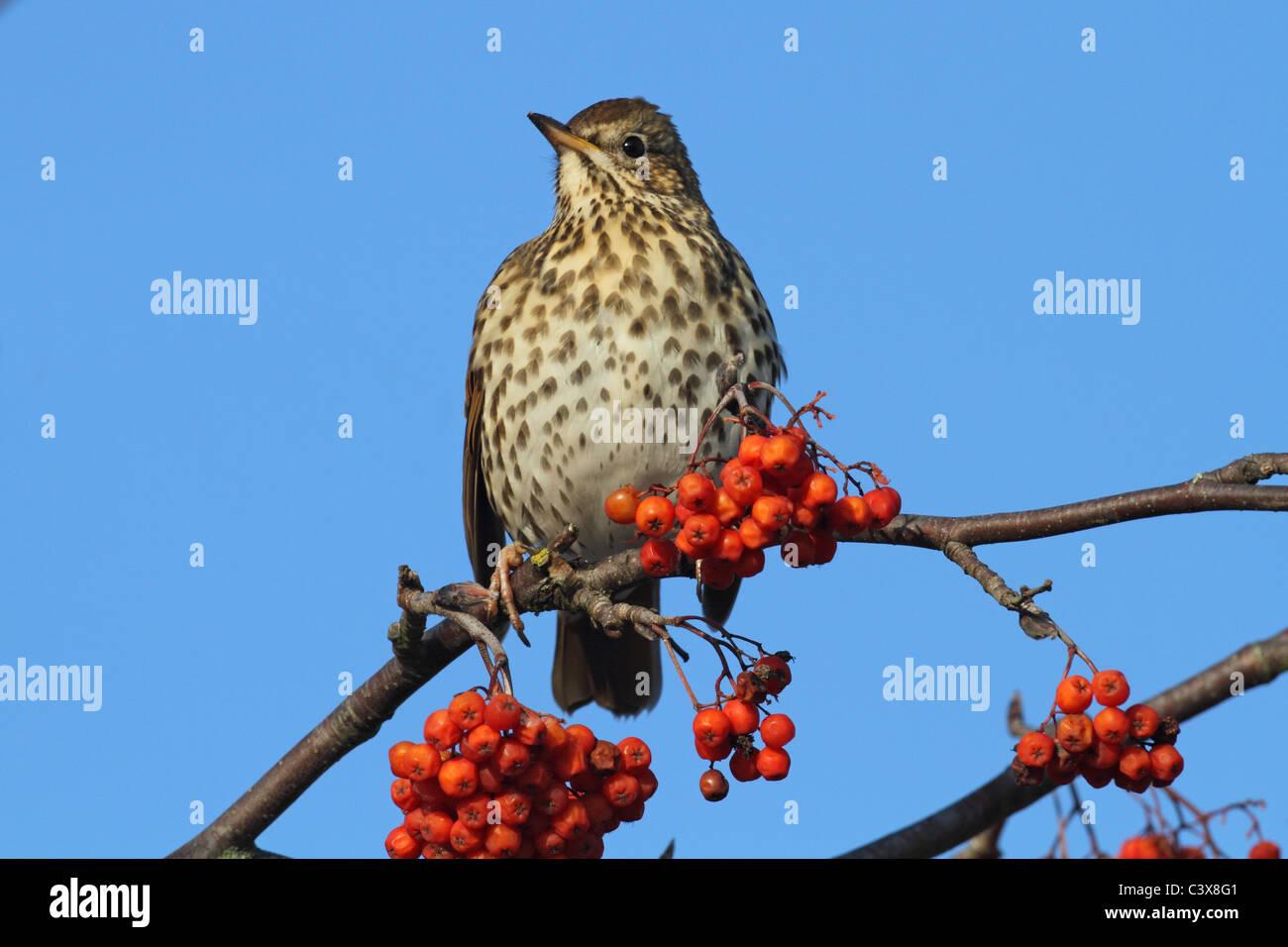 Song Thrush Turdus philomelos Rowan - Stock Image