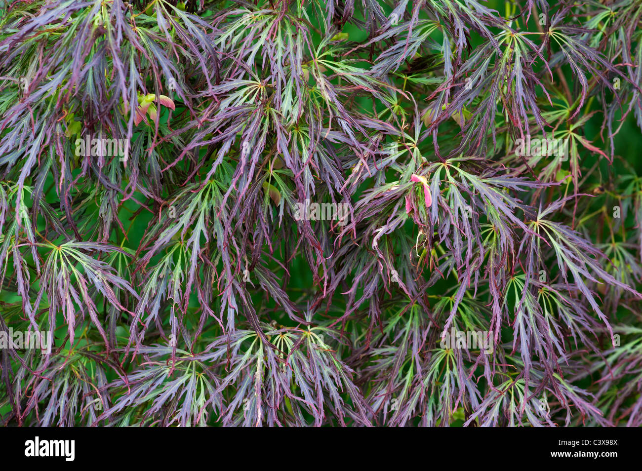 Acer Palmatum Var Dissectum Smooth Japanese Maple Tree Leaves And