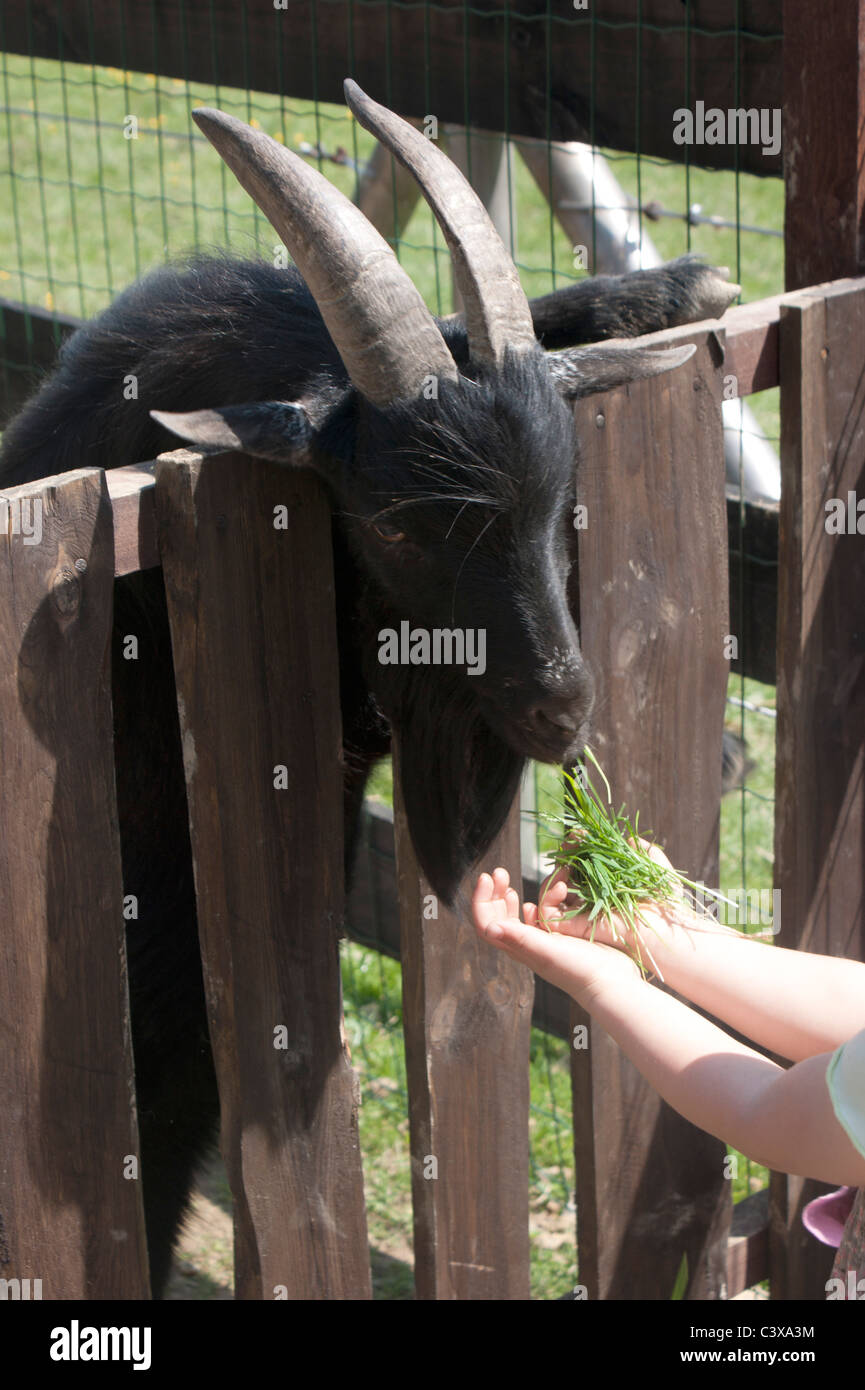 Small girl feed black goat - Stock Image