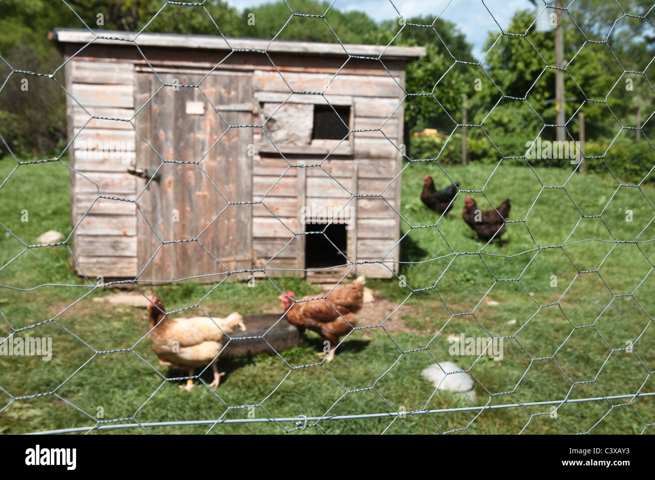 Hen House with free-range happy hens. Cotswolds, UK.  ( Foreground chicken wire in sharp focus and hen house in - Stock Image