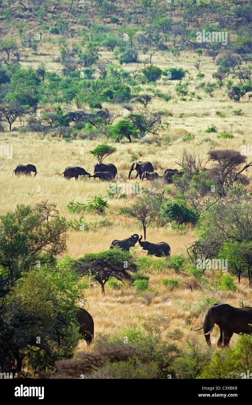 South Africa, near Rustenburg, Pilanesberg National Park. Herd of African Elephants, Loxodonta africana. - Stock Image