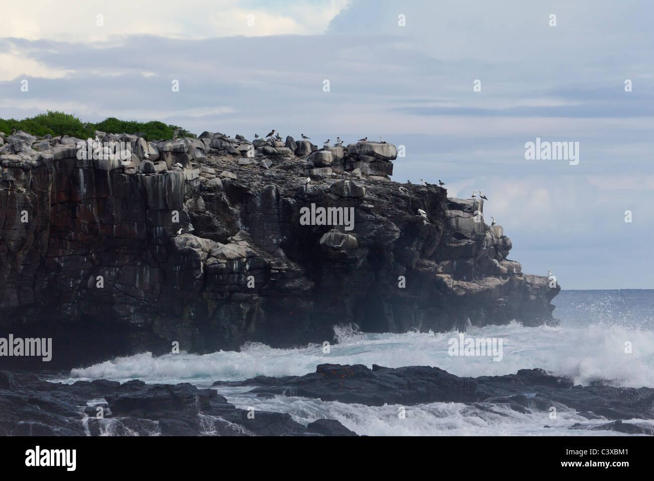 cliff with nesting seabirds, Punta Suarez, Espanola Island, Galapagos Islands, Ecuador - Stock Image