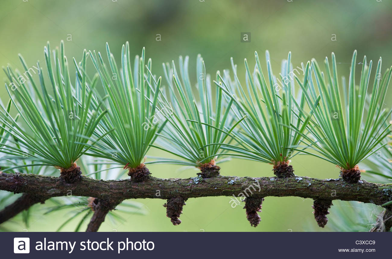 Larix x eurolepis. Dunkeld Larch tree needles - Stock Image