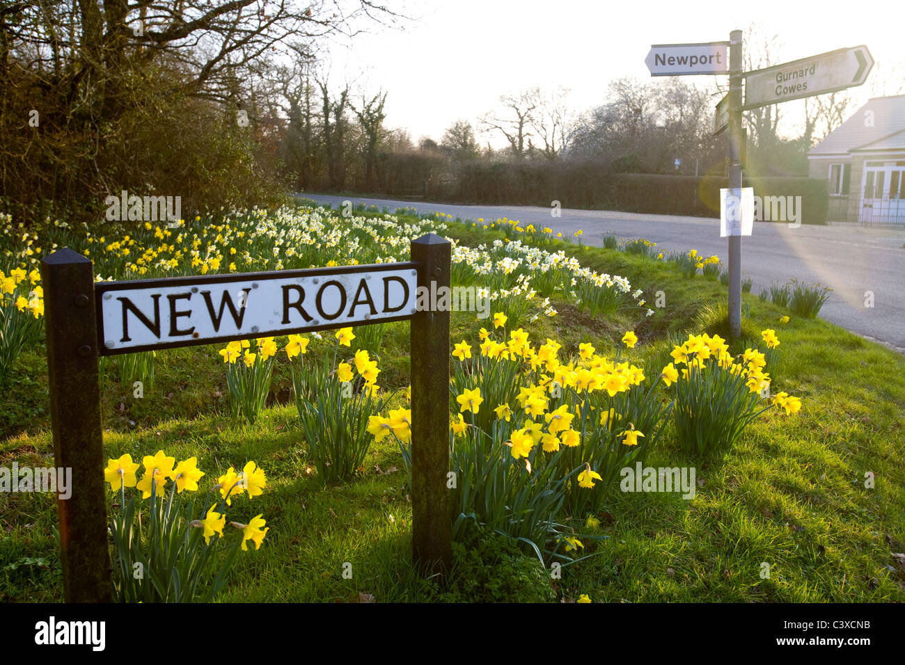 New Road, Porchfield, Daffodils, nature, Rural Roads, Isle of Wight, England, UK, - Stock Image