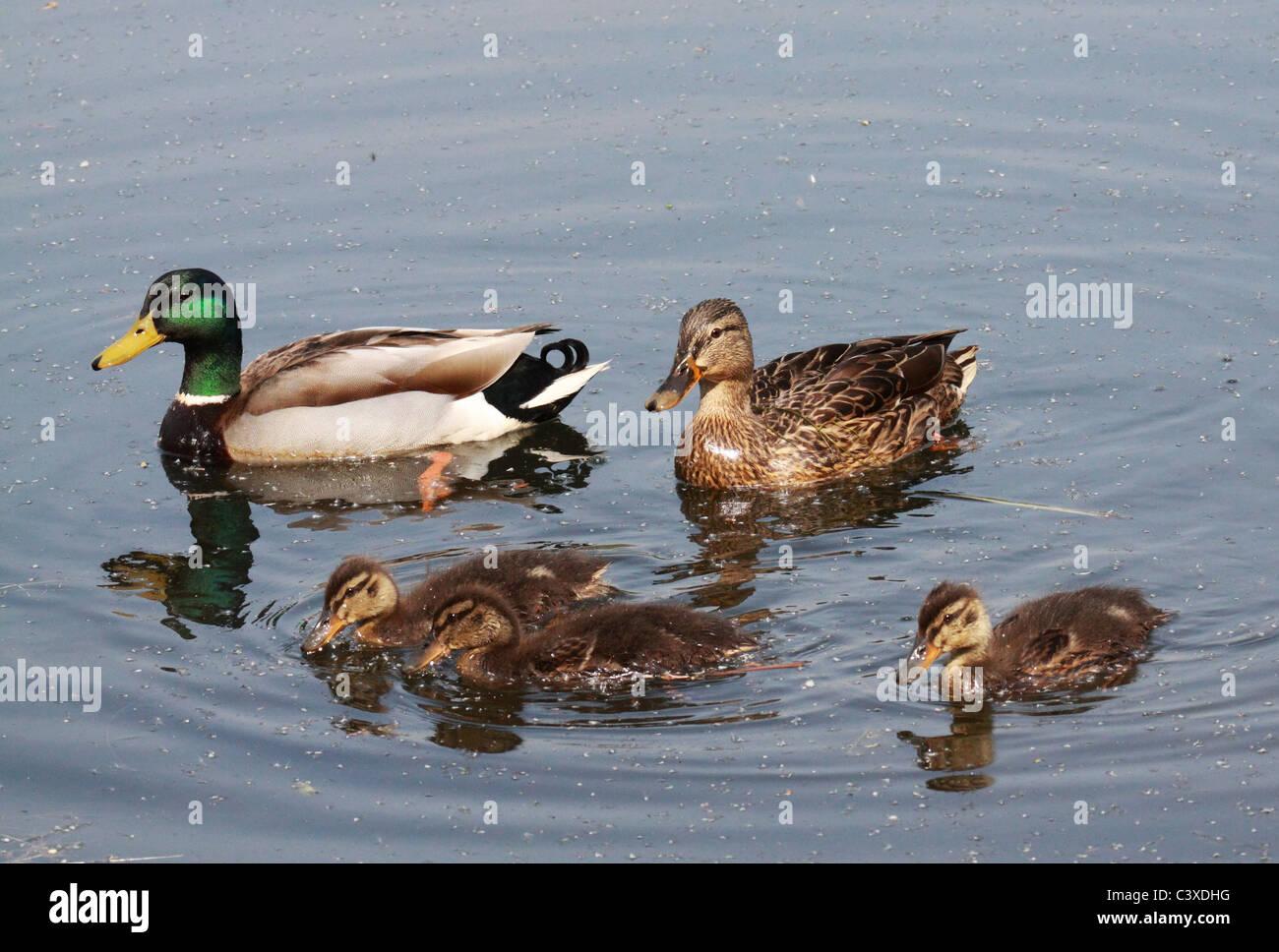 Mallard duck family Stock Photo