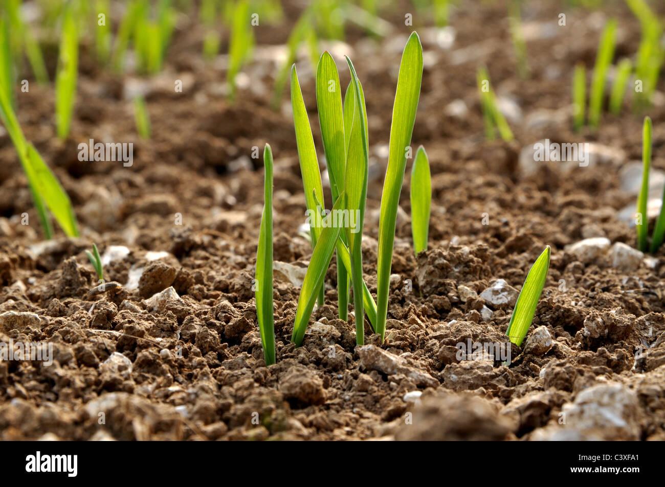 Wintwe barley plants - Stock Image
